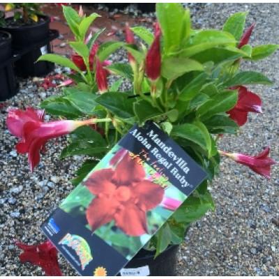 Mandevilla aloha ruby red