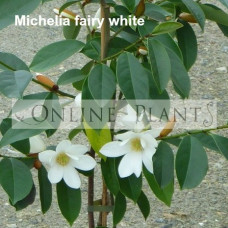 Michelia Fairy White Magnolia