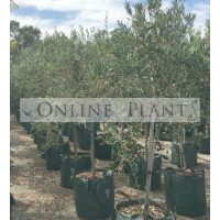 Olea Olive Assorted