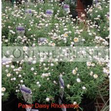 Rhodanthe Paper Daisy