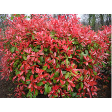 Photinia Allyn Sprite