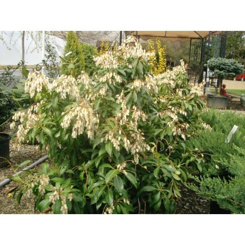 Pieris Japonica Plants For Sale Online Plants Australia