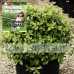 Pittosporum tenuifolium Golf Ball