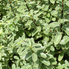 Pittosporum tenuifolium Ivory Sheen
