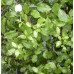 Pittosporum Silver Sheen