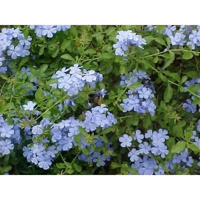 Plumbago Auriculata Blue