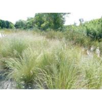 Poa Sieberiana Grey Tussock Grass