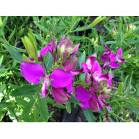 Polygala Little Charmer