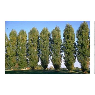 Populus nigra Italica