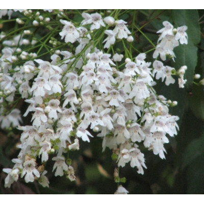 Prostanthera lasianthos, White