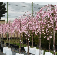 Prunus serrulata Cheals Weeping Cherry
