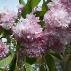 Prunus subhirtella Weeping Cherry Double Pink