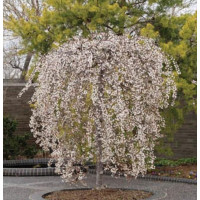 Prunus snofozam Snow Fountain