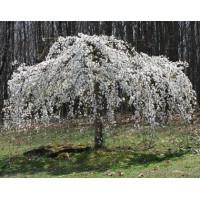 Prunus subhirtella Pendula Alba
