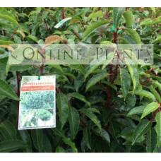 Prunus lusitanica, portugese laurel
