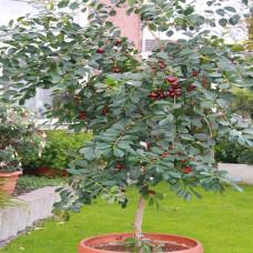 Psidium Strawberry Guava
