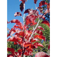 Pyrus calleryana Red Spire Ornamental Pear