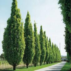 Quercus robur Fastigiata English Oak
