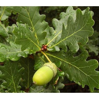 Quercus robur English Oak