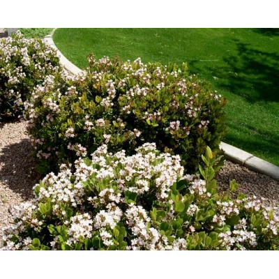 Raphiolepsis indica cosmic white