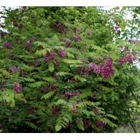 Robinia pseudoacacia Purple Robe