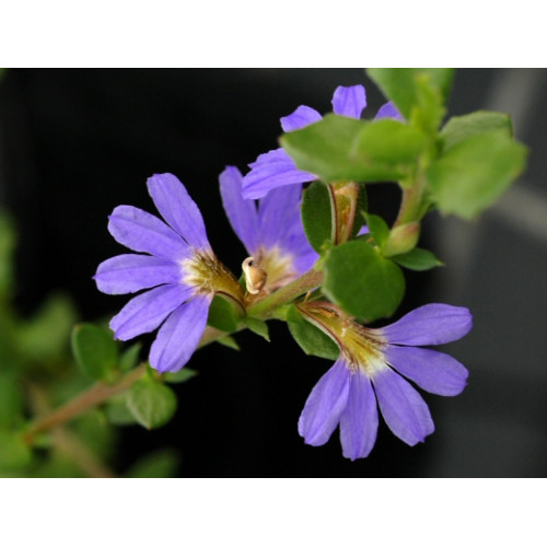 Buy Scaevola Albida Blue Online Plants