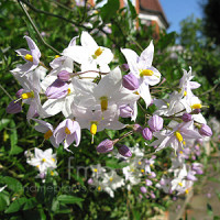 Solanum Jasminoides Potato Vine