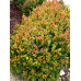 Syzygium Orange Twist