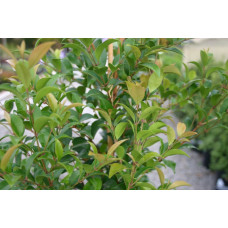 Syzygium australe, lilly pilly