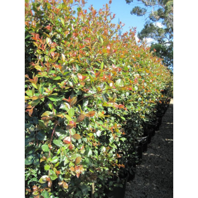 Syzygium australe Tayla Made, lilly pilly