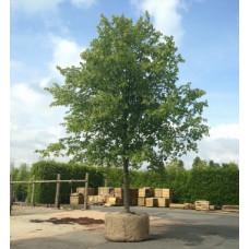 Tilia cordata Greenspire Linden Tree