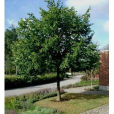 Tilia x europaea, Common Lime