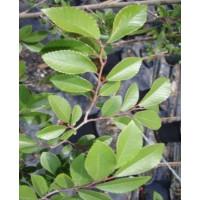 Ulmus parvifolia Murrays Form