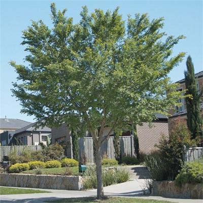 Ulmus parvifolia Todd