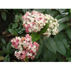 Viburnum tinus, Anvi,