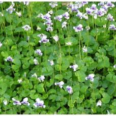 Viola Hederacea Native Violet