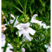 Westringia Longifolia
