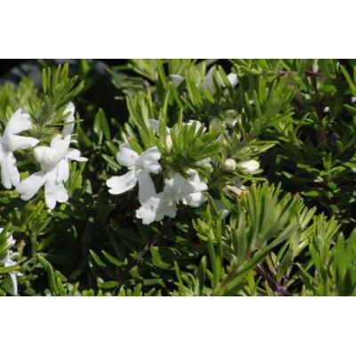 Westringia White Rambler