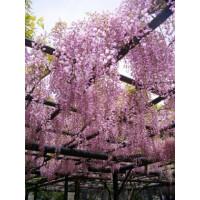 Wisteria Floribunda Pink