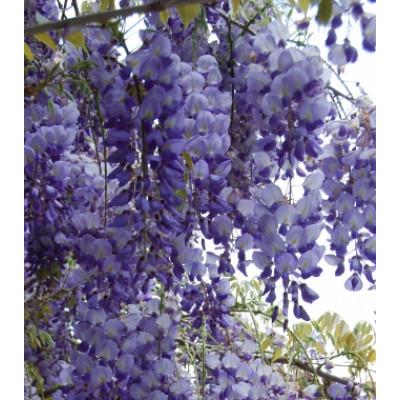 Wisteria Sinensis Blue/Purple